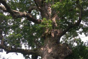 Old Oak at Bafflin